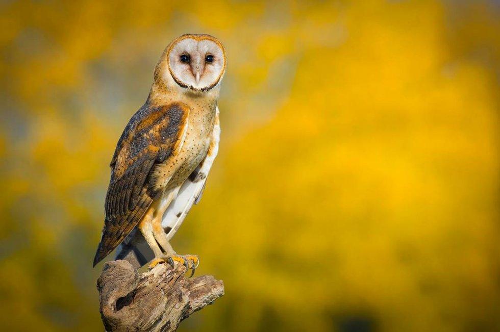 Barn owl Endangered Species.jpg