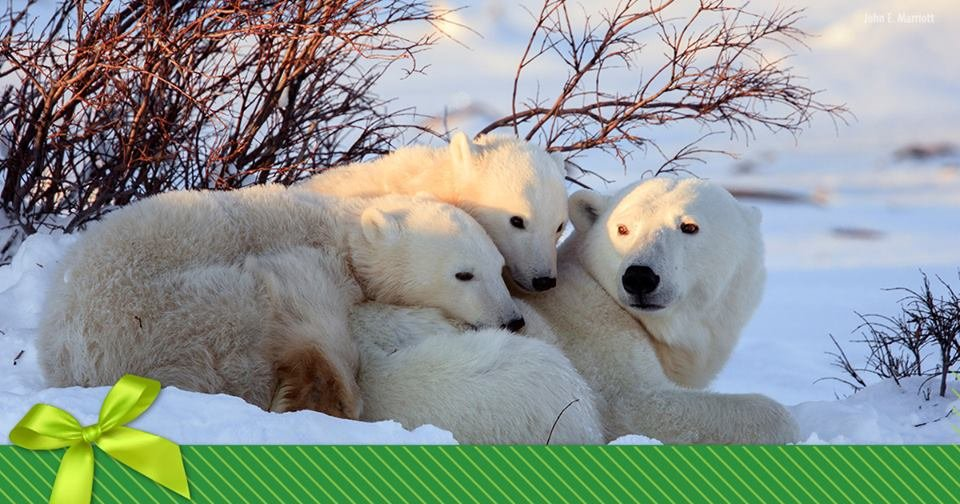 Nature Conservancy polar bears.jpg