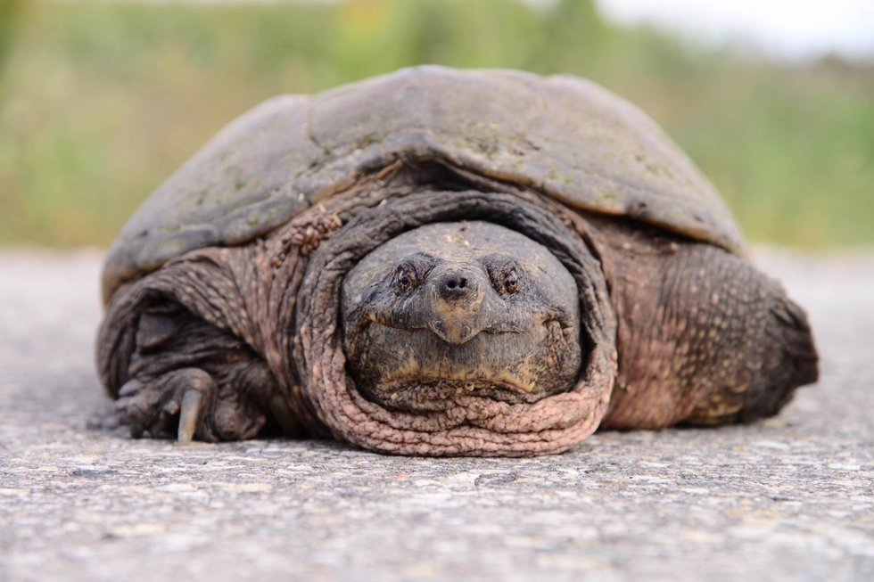 Snapping turtle Endangered Species Act.jpg