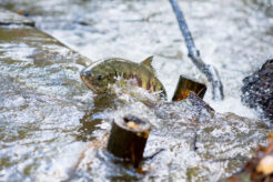 A photo of wild salmon spawning in Canada