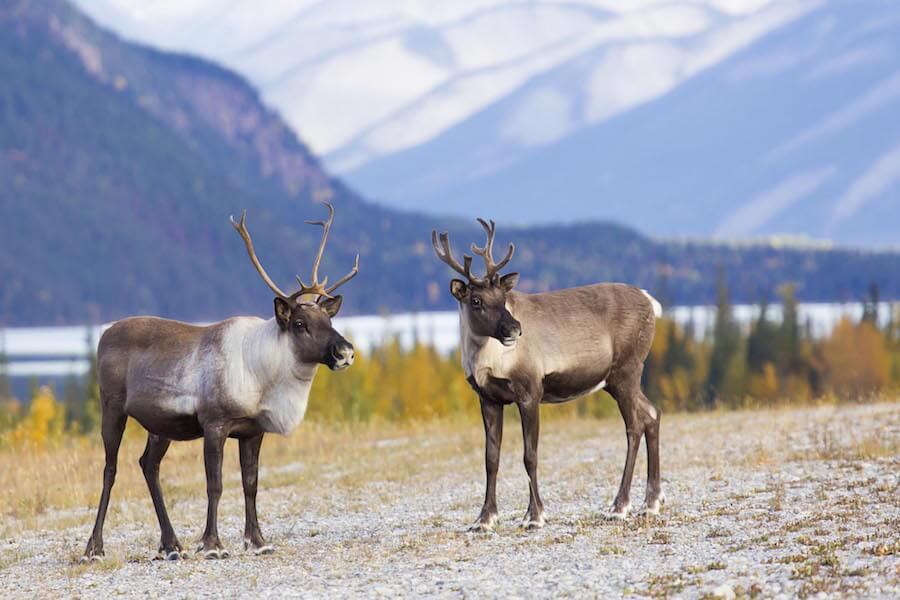 A photo of caribou in the Yukon, Canada