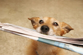 A photo of a dog holding a newspaper