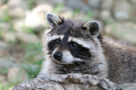 A photo of a raccoon