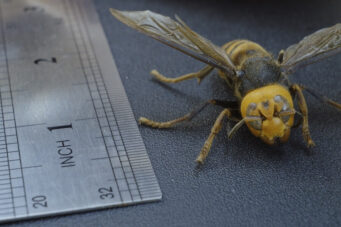 A photo of a dead Asian giant hornet next to a ruler from the TV show Farm Crime season 2