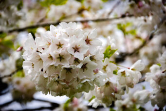 A close-up photo of cherry blossom leaves in High Park, Toronto